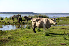 Wild horses and cow graze and eat grass in the meadow on lake, Latvia Stock Photography