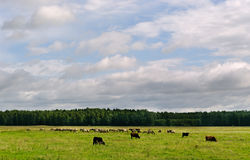 Wild horses and cows. Royalty Free Stock Photo