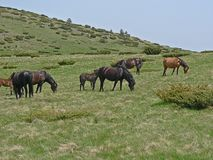 Wild horses and cows in the mountains. Stock Photos