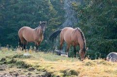 Wild Horses - Coyote Dun stallion alongside grazing Buckskin Dun mare in the Pryor Mountains Wild Horse Range in Montana USA Stock Photography