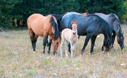 Wild Horses - Curious Baby foal colt with mother and herd in the Pryor Mountains Wild Horse Range in Montana USA. Wild Horses - Curious Baby foal colt dun Royalty Free Stock Photos