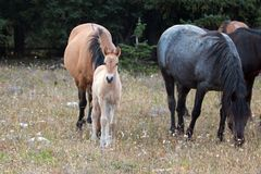 Wild Horses - Curious Baby foal colt with mother and herd in the Pryor Mountains Wild Horse Range in Montana USA. Wild Horses - Curious Baby foal colt dun Stock Photo