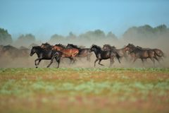 Wild horses in Danube Delta royalty free stock images