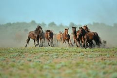 Wild horses in Danube Delta. In Romania stock photos