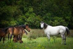Wild horses Royalty Free Stock Photos
