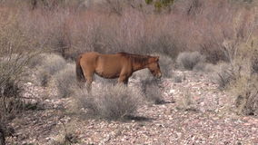 Wild Horses in the Desert Royalty Free Stock Photography