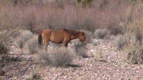 Wild Horses in the Desert stock video footage