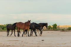 Wild Horses in the Desert. A herd of wild horses in the Utah desert Stock Photos