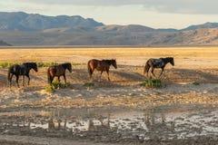 Wild Horses in the Desert. A herd of wild horses in the Utah desert in summer Stock Images