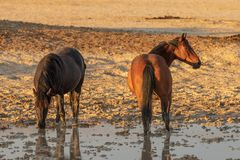 Wild Horses at a Desert Pond. A herd of wild horses at a muddy pond in the Utah desert Royalty Free Stock Photo