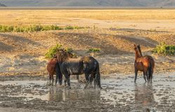 Wild Horses at a Desert Pond. A herd of wild horses at a muddy pond in the Utah desert Royalty Free Stock Photography