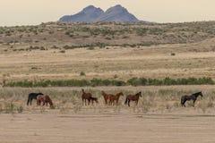 Wild Horses in the Desert in Summer. A herd of beautiful wild horses in the Utah desert Royalty Free Stock Image