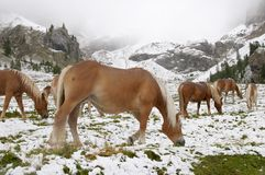 Wild horses in Dolomite Mountains royalty free stock photo
