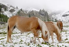 Wild horses in Dolomite Mountains Royalty Free Stock Images