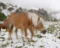 Wild horses in Dolomite Mountains Stock Photo