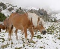 Wild horses in Dolomite Mountains stock photo