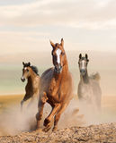 Wild horses in dust Stock Images