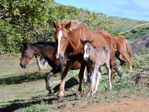 Wild horses at the Easter Island Stock Photos