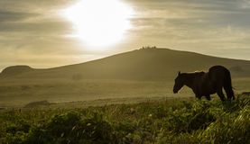 Wild horses , Easter Island, Chile. Stock Photography
