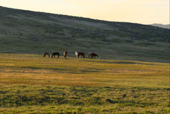 Wild Horses. In Eastern Oregon Royalty Free Stock Photography