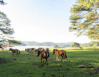 Wild horses eat the glass by the lake. Wild horse on pink glass fiield, the field near by Lake, in the weeken some people camping here - DALAT, VIETNAM royalty free stock images