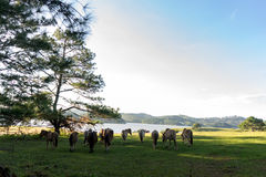 Wild horses eat the glass by the lake. Wild horse on pink glass fiield, the field near by Lake, in the weeken some people camping here - DALAT, VIETNAM stock photos
