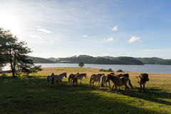 Wild horses eat the glass by the lake. Wild horse on pink glass fiield, the field near by Lake, in the weeken some people camping here - DALAT, VIETNAM stock image