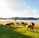 Wild horses eat the glass by the lake. Wild horse on pink glass fiield, the field near by Lake, in the weeken some people camping here - DALAT, VIETNAM royalty free stock photo