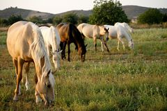 Wild horses of different colors lined-up. Country side of Portug stock image
