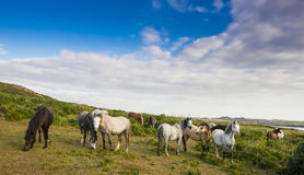 Wild horses in England Royalty Free Stock Images