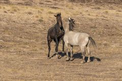 Wild Horses Facing Off. A pair of wild horse stallions fighting for dominance in the Utah desert Stock Photo