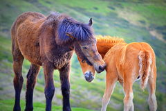 Wild horses familiarities Royalty Free Stock Photos