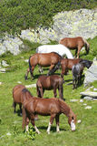 Wild horses feeding Royalty Free Stock Photography