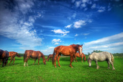 Wild horses on the field. Beautiful wild horses on the perfect field royalty free stock photography