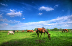 Wild horses on the field Royalty Free Stock Photos
