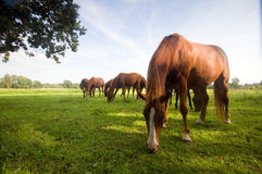 Wild horses on the field Stock Images