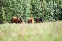 Wild horses in the field Royalty Free Stock Photo