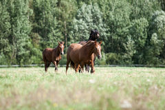 Wild horses in the field Royalty Free Stock Photography