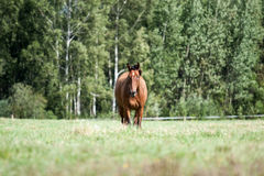 Wild horses in the field Royalty Free Stock Photos