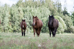 Wild horses in the field Stock Photo