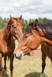 Wild horses in the field Stock Image