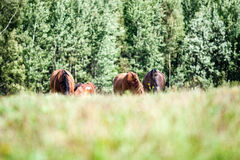 Wild horses in the field. Close-up shot of wild horses in the field royalty free stock photos