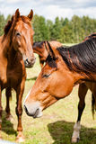Wild horses in the field. Close-up shot of wild horses in the field stock image