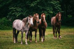 Wild horses in the field Stock Photography