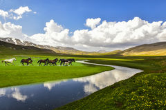 Wild horses in field Stock Photography