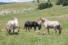 Wild horses fight Royalty Free Stock Photos