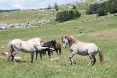 Wild horses fight Stock Photo