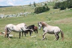Wild horses fight Stock Photo