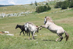 Wild horses fight Royalty Free Stock Photos
