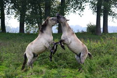 Wild horses fighting Stock Photo